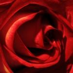 roseef_1528